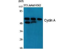 Western Blotting (WB) image for anti-Cyclin A antibody (Cyclin A2) (Internal Region) (ABIN3184138)