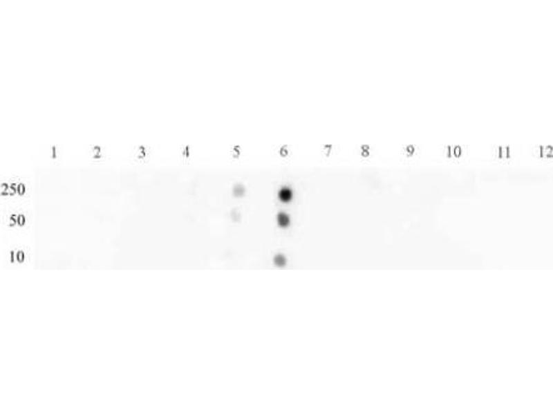 Dot Blot (DB) image for anti-STAT3 antibody (Signal Transducer and Activator of Transcription 3 (Acute-Phase Response Factor)) (pSer727) (ABIN2668936)