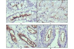 Immunohistochemistry (IHC) image for anti-WNT10B antibody (Wingless-Type MMTV Integration Site Family, Member 10B) (ABIN969459)