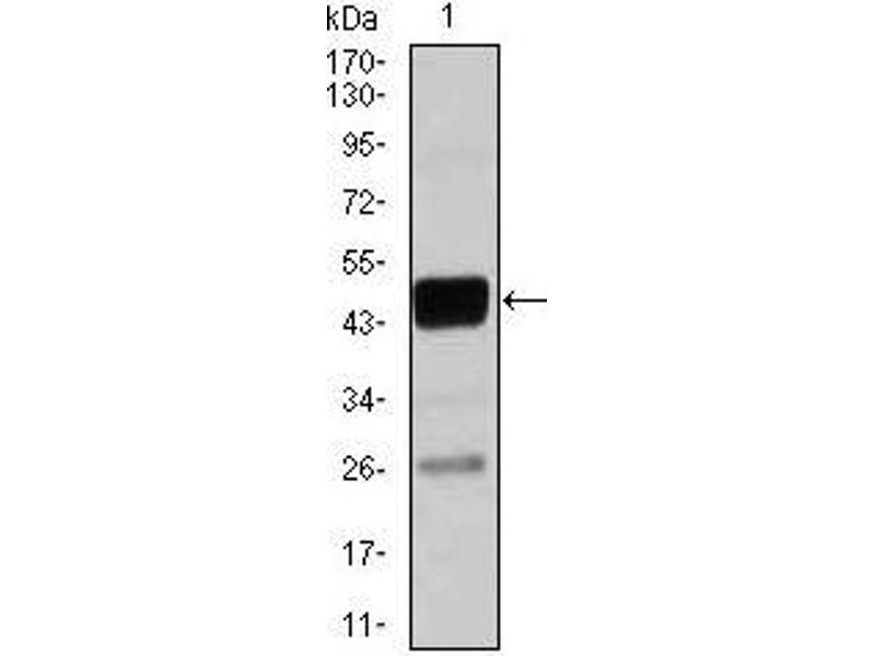 Western Blotting (WB) image for anti-CCAAT/enhancer Binding Protein (C/EBP), alpha (CEBPA) antibody (ABIN969507)