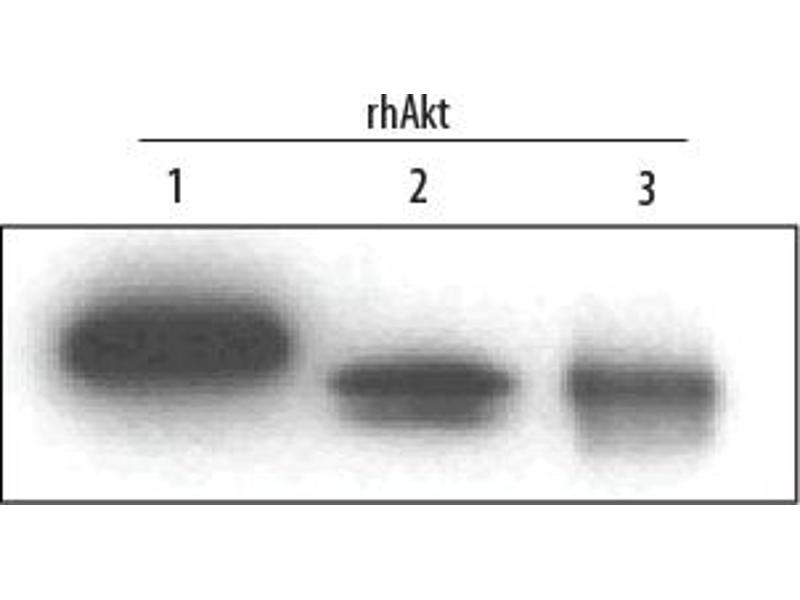 Western Blotting (WB) image for anti-V-Akt Murine Thymoma Viral Oncogene Homolog 1 (AKT1) (AA 2-480), (pan) antibody (ABIN4899444)