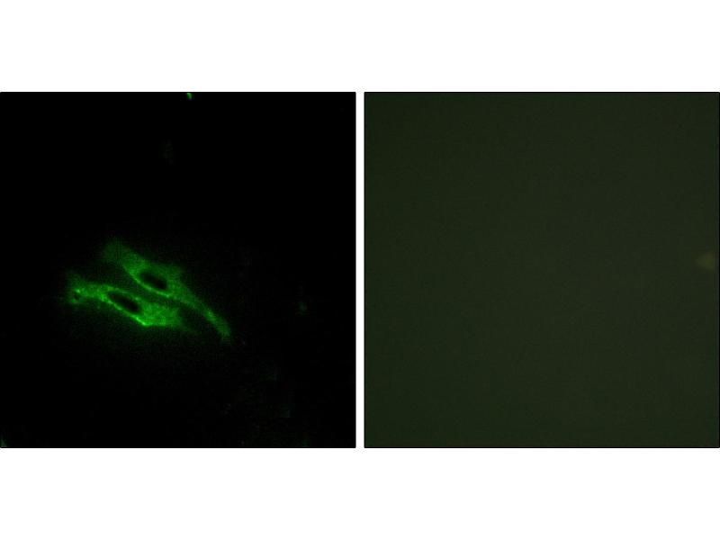 Immunofluorescence (IF) image for anti-Prothrombin antibody (Coagulation Factor II (thrombin)) (ABIN2164794)