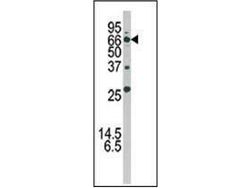 Western Blotting (WB) image for anti-ATG16 Autophagy Related 16-Like 1 (S. Cerevisiae) (ATG16L1) (AA 84-114) antibody (ABIN1449612)
