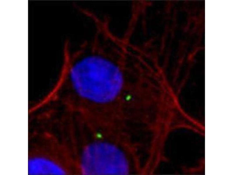 Immunofluorescence (IF) image for anti-Tubulin, gamma 1 (TUBG1) antibody (ABIN265871)