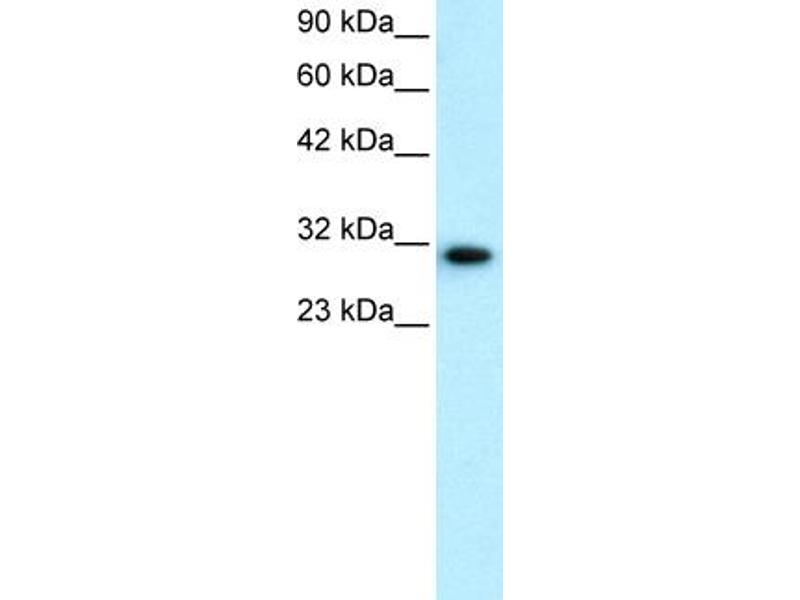 Western Blotting (WB) image for anti-D Site of Albumin Promoter (Albumin D-Box) Binding Protein (DBP) (N-Term) antibody (ABIN182506)