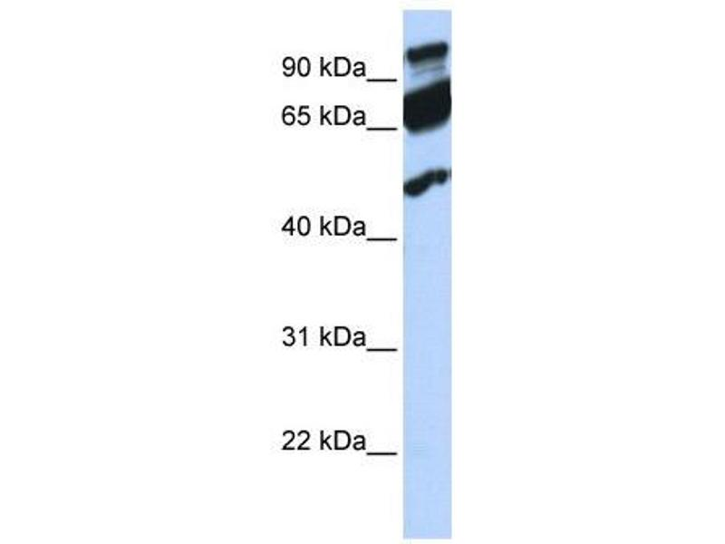 Western Blotting (WB) image for anti-Era G-Protein-Like 1 (E. Coli) (ERAL1) (Middle Region) antibody (ABIN501992)