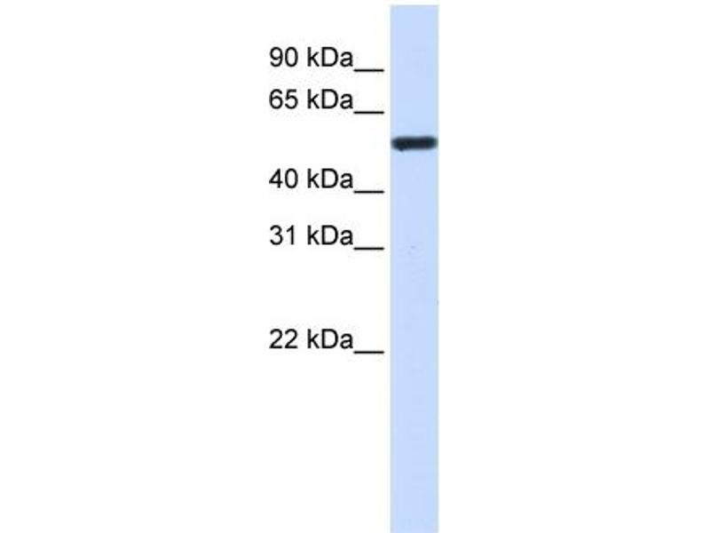 Western Blotting (WB) image for anti-TUBA4A antibody (Tubulin, alpha 4a) (Middle Region) (ABIN2778649)
