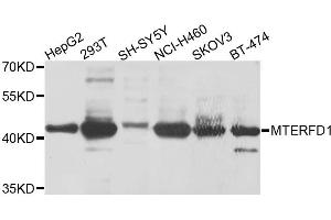 Image no. 1 for anti-MTERF Domain Containing 1 (MTERFD1) antibody (ABIN6572015)