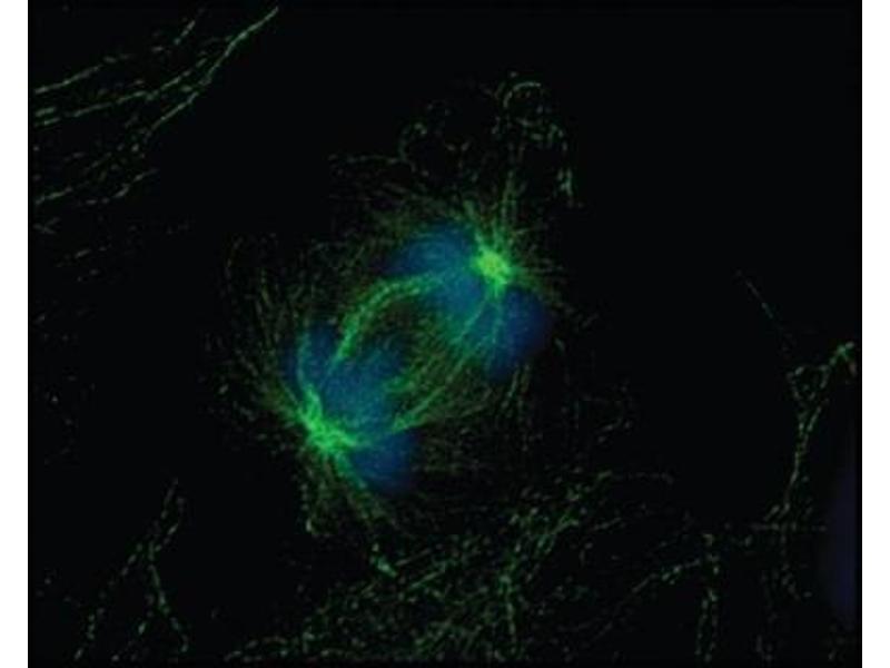 Immunofluorescence (IF) image for anti-alpha Tubulin (TUBA1) antibody (ABIN152113)
