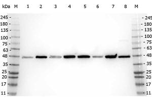 Western Blotting (WB) image for anti-Amyloid beta (Abeta) (N-Term) antibody (ABIN95037)