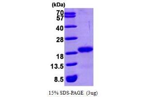 Image no. 1 for GABA(A) Receptor-Associated Protein (GABARAP) (AA 1-117) protein (His tag) (ABIN666937)