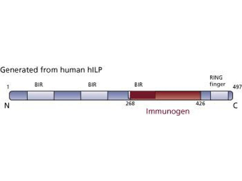 image for anti-XIAP antibody (X-Linked Inhibitor of Apoptosis) (AA 268-426) (ABIN968164)