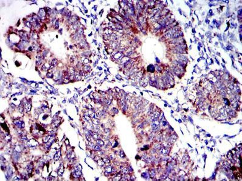 Immunohistochemistry (IHC) image for anti-AIFM1 antibody (Apoptosis-Inducing Factor, Mitochondrion-Associated, 1) (ABIN968950)