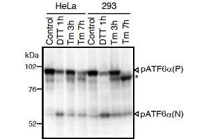 Image no. 3 for anti-Activating Transcription Factor 6 (ATF6) (N-Term) antibody (ABIN2451924)