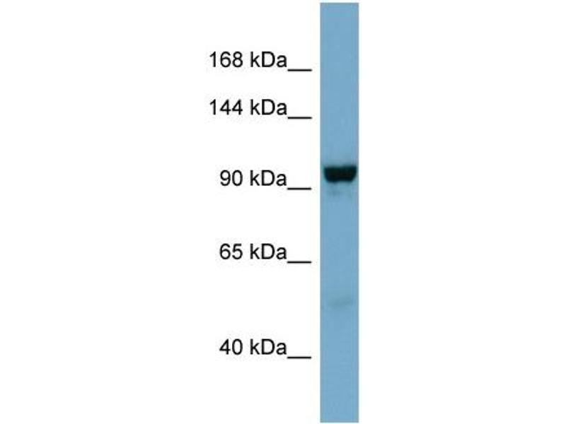 Western Blotting (WB) image for anti-N-Deacetylase/N-Sulfotransferase (Heparan Glucosaminyl) 4 (NDST4) (Middle Region) antibody (ABIN2783876)