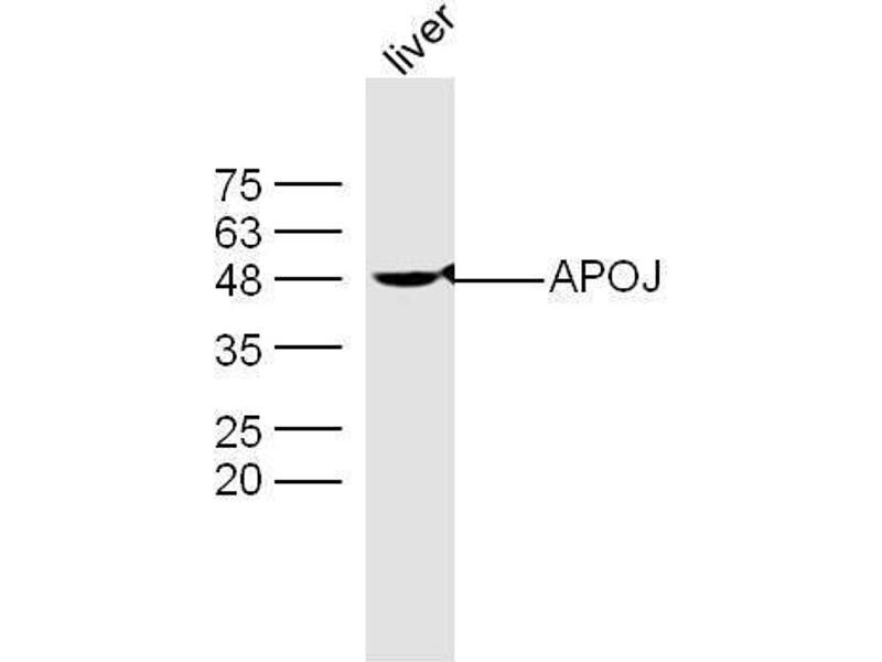 Western Blotting (WB) image for anti-Clusterin antibody (CLU) (AA 433-442) (ABIN685342)