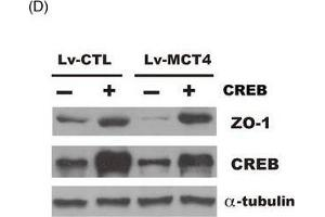 Image no. 2 for anti-cAMP Responsive Element Binding Protein 1 (CREB1) antibody (ABIN6135628)