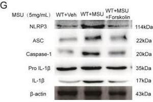 Image no. 14 for anti-NLR Family, Pyrin Domain Containing 3 (NLRP3) (AA 15-120) antibody (ABIN1386361)