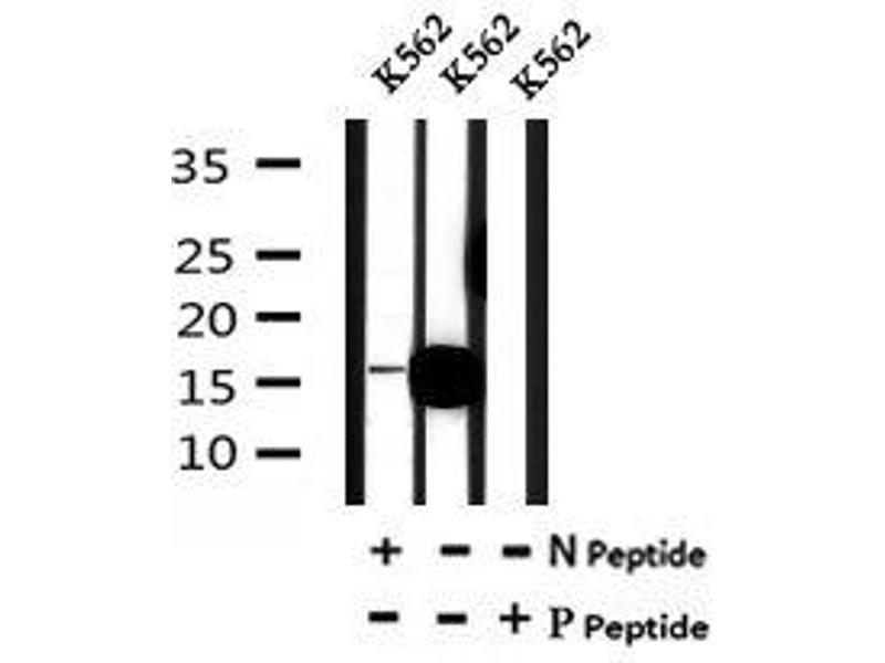 Image no. 4 for anti-Vesicle-Associated Membrane Protein 4 (VAMP4) (pSer88) antibody (ABIN6269707)