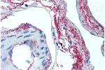 Immunohistochemistry (Paraffin-embedded Sections) (IHC (p)) image for anti-Elastin (ELN) antibody (ABIN305753)