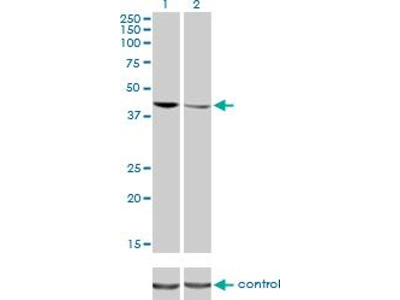 Western Blotting (WB) image for anti-TAR DNA Binding Protein (TARDBP) (AA 1-260), (full length) antibody (ABIN565080)