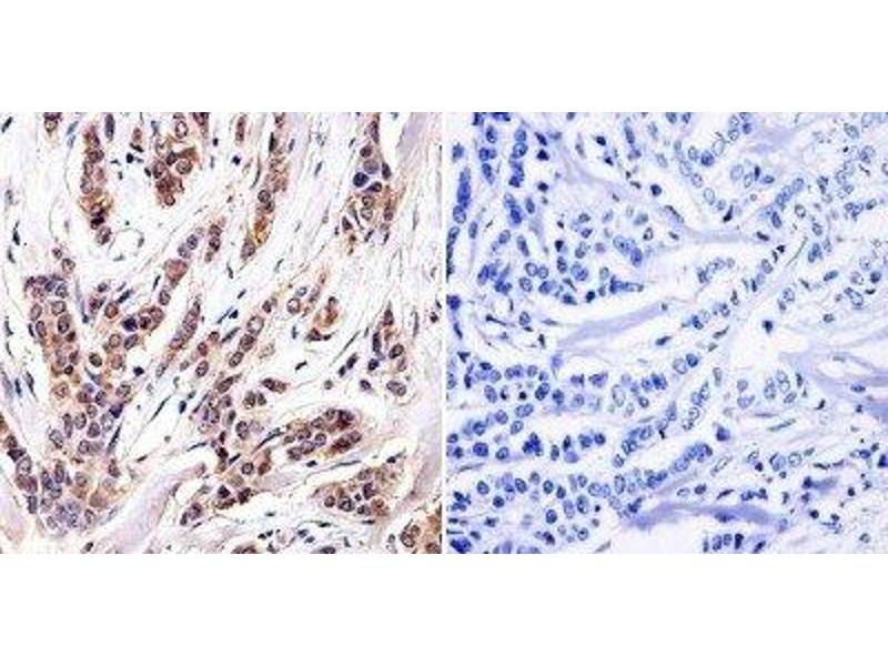 Immunohistochemistry (Paraffin-embedded Sections) (IHC (p)) image for anti-Aryl Hydrocarbon Receptor (AHR) antibody (ABIN152689)