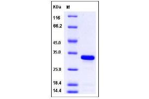 Image no. 1 for BCL2-Like 1 (BCL2L1) (AA 1-212) (Active) protein (His tag) (ABIN2007143)