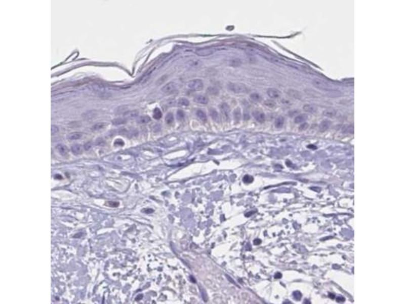 Immunohistochemistry (Paraffin-embedded Sections) (IHC (p)) image for anti-WNT9B antibody (Wingless-Type MMTV Integration Site Family, Member 9B) (ABIN4366213)