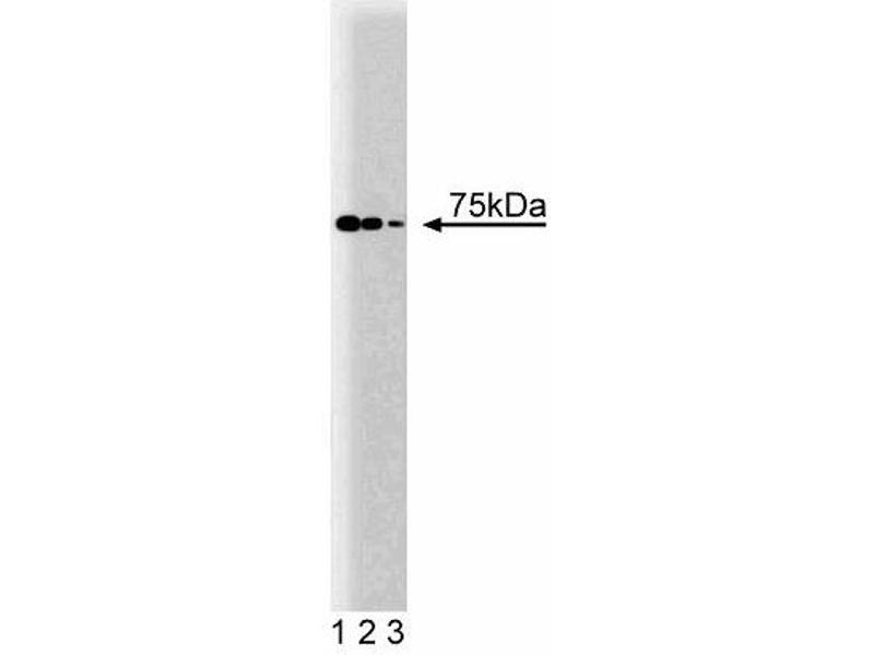 Western Blotting (WB) image for anti-PC4 and SFRS1 Interacting Protein 1 (PSIP1) (AA 85-188) antibody (ABIN968640)