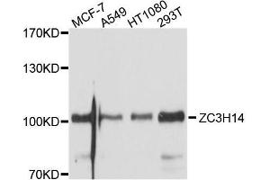 Image no. 1 for anti-Zinc Finger CCCH-Type Containing 14 (ZC3H14) antibody (ABIN6150396)