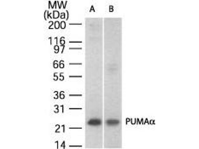 Western Blotting (WB) image for anti-BBC3 antibody (BCL2 Binding Component 3) (AA 186-199) (ABIN252347)