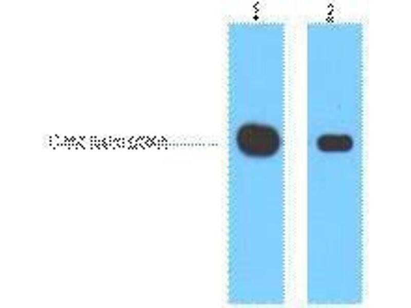 Image no. 1 for anti-Myc Tag antibody (ABIN3178555)