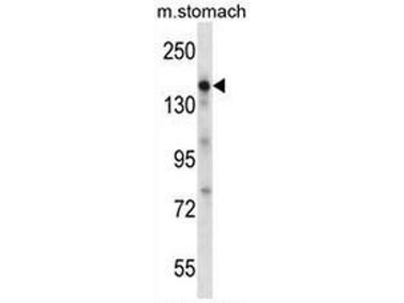 Western Blotting (WB) image for anti-Epidermal Growth Factor (EGF) (AA 689-720), (Middle Region) antibody (ABIN952036)