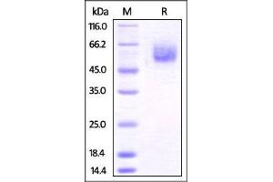 Image no. 1 for B and T Lymphocyte Associated (BTLA) (AA 30-176) protein (Fc Tag) (ABIN4949161)
