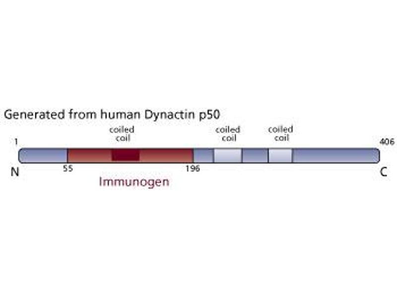 image for anti-Dynactin p50 (AA 55-196) antibody (ABIN968309)
