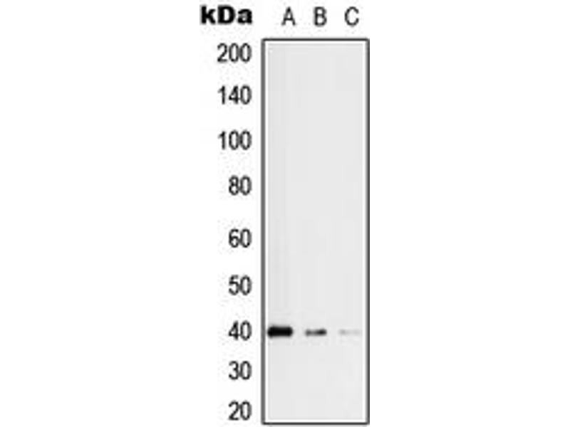 Western Blotting (WB) image for anti-Replication Factor C (Activator 1) 3, 38kDa (RFC3) (Center) antibody (ABIN2706942)