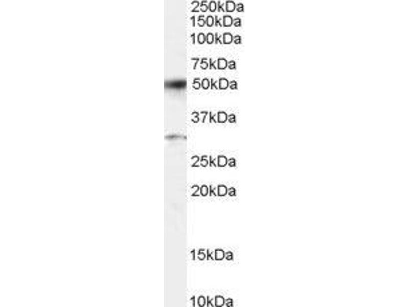 Image no. 1 for Activating Transcription Factor 2 (ATF2) peptide (ABIN369231)