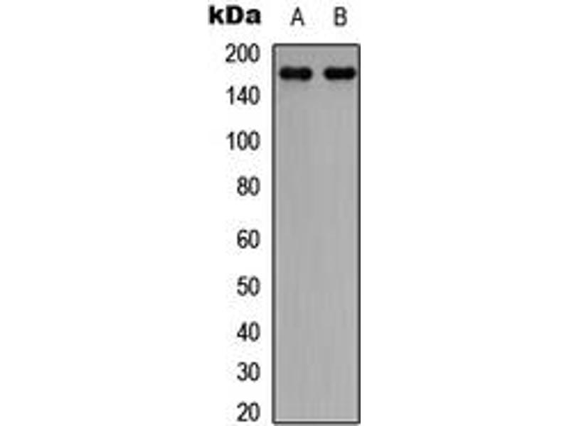 Western Blotting (WB) image for anti-CLASP1 antibody (Cytoplasmic Linker Associated Protein 1) (C-Term) (ABIN2704649)