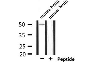 Image no. 1 for anti-Potassium Inwardly-Rectifying Channel, Subfamily J, Member 4 (KCNJ4) antibody (ABIN6257761)