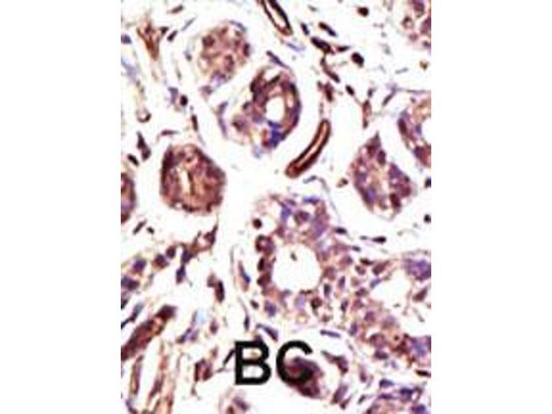 Immunohistochemistry (IHC) image for anti-Ubiquitin Protein Ligase E3A (ube3a) (AA 836-865), (C-Term) antibody (ABIN388925)