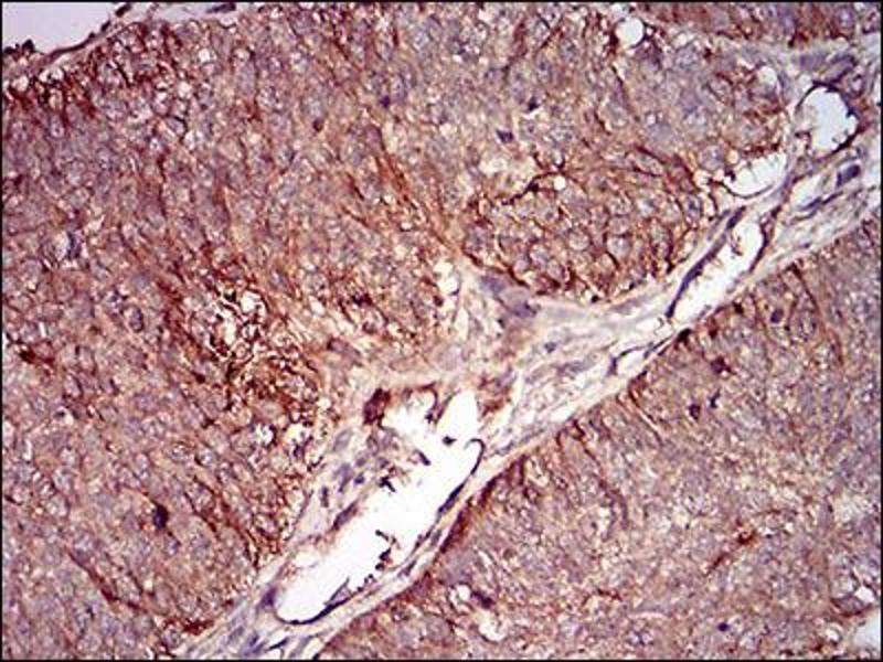Image no. 1 for anti-mSplunc2 (AA 16-169) antibody (ABIN1724943)