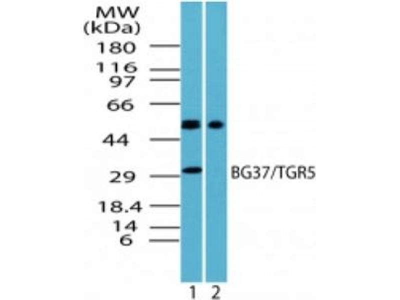 image for anti-GPBAR1 antibody (G Protein-Coupled Bile Acid Receptor 1) (AA 302-322) (ABIN372269)