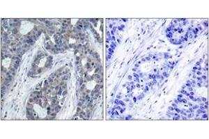 Image no. 2 for anti-Insulin Receptor Substrate 1 (IRS1) (AA 603-652), (pSer636) antibody (ABIN1531878)