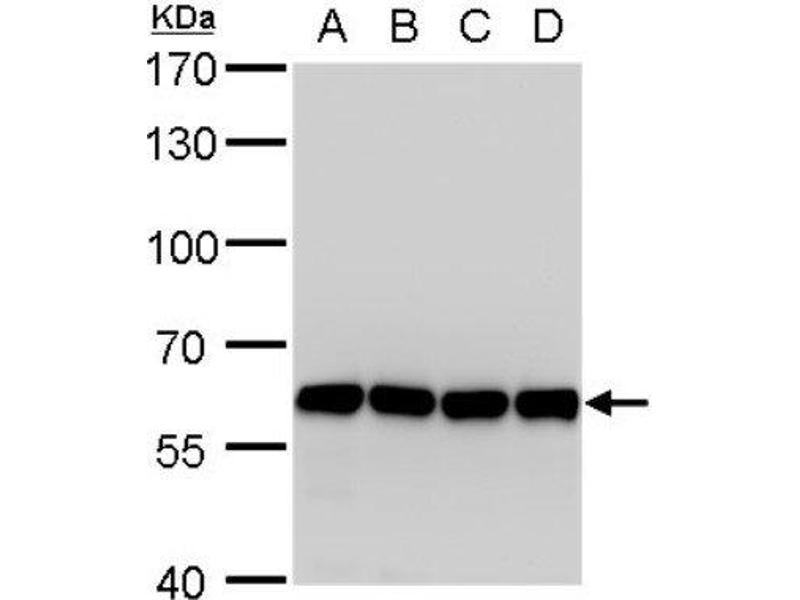 Western Blotting (WB) image for anti-Archain 1 (ARCN1) (Center) antibody (ABIN4264300)