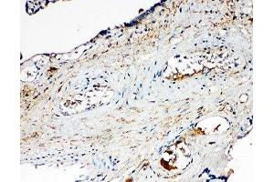 Immunohistochemistry (IHC) image for anti-SGK1 antibody (serum/glucocorticoid Regulated Kinase 1) (N-Term) (ABIN3032550)