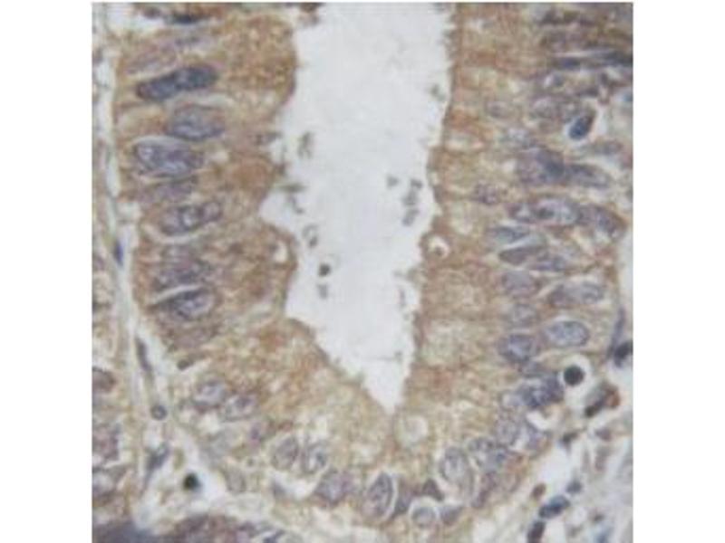 Image no. 3 for anti-Tumor Necrosis Factor alpha (TNF) antibody (ABIN6269443)