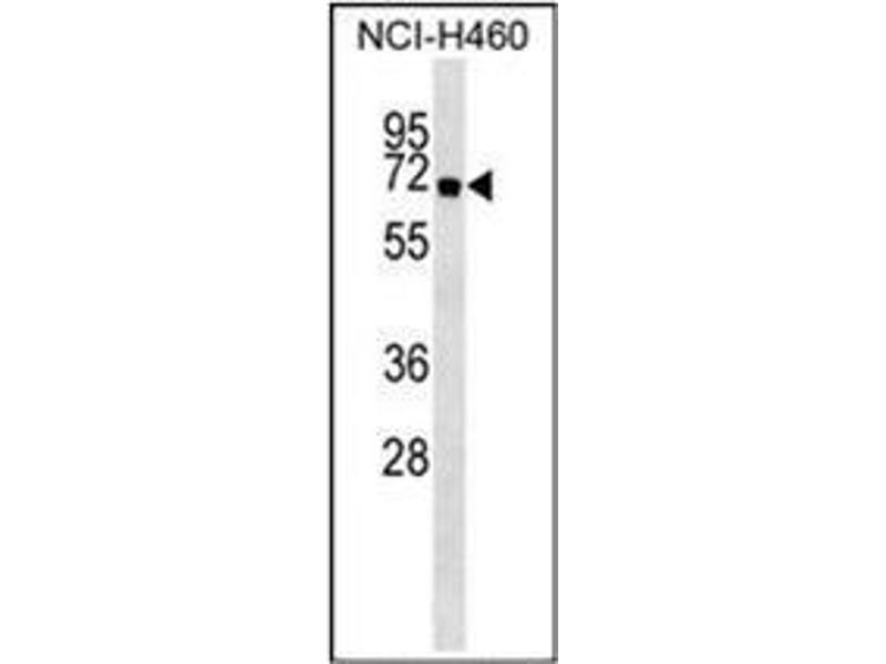 Western Blotting (WB) image for anti-ATG16L1 antibody (ATG16 Autophagy Related 16-Like 1 (S. Cerevisiae)) (AA 84-114) (ABIN1449612)