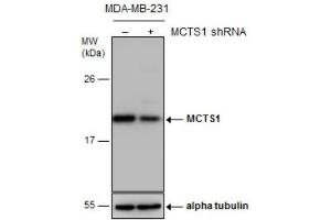 Western Blotting (WB) image for anti-Malignant T Cell Amplified Sequence 1 (MCTS1) (Center) antibody (ABIN4333260)