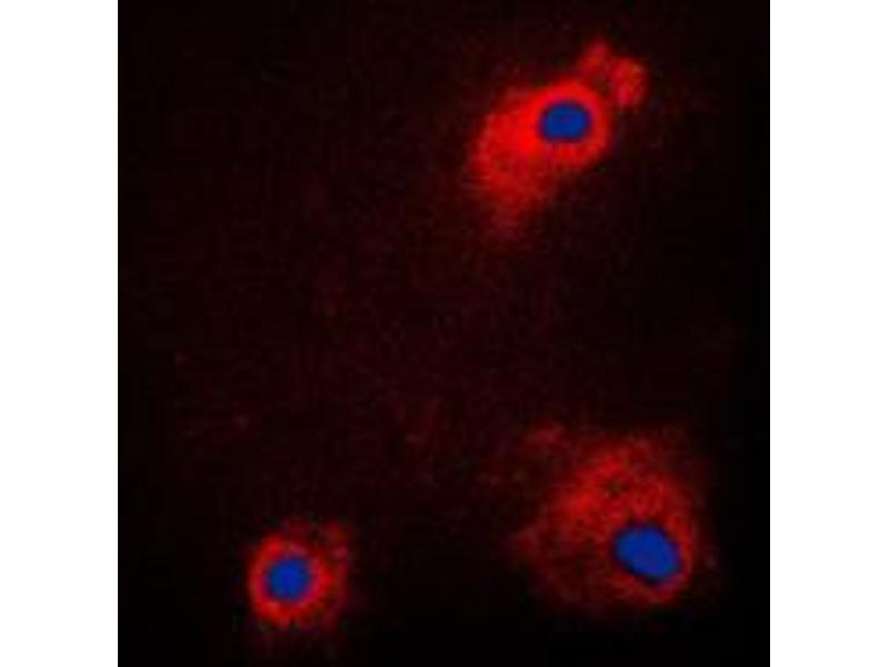 Immunofluorescence (IF) image for anti-Glycogen Synthase Kinase 3 alpha (GSK3a) (N-Term), (pSer21) antibody (ABIN2707539)