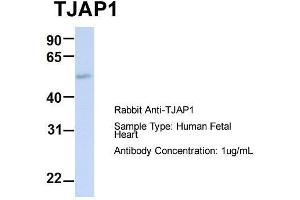 Image no. 3 for anti-Tight Junction Associated Protein 1 (Peripheral) (TJAP1) (N-Term) antibody (ABIN2775634)